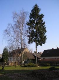 Strom před pokácením